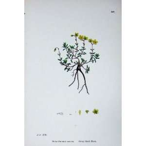 Hoary Rock Rose Botany Plants C1902 Helianthemum Canum